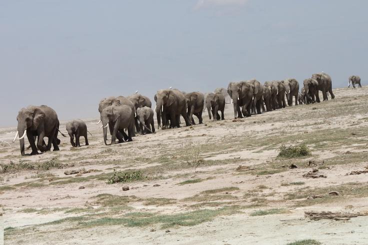 Amazing shot of elephants crossing the #Amboseli. #Kenya