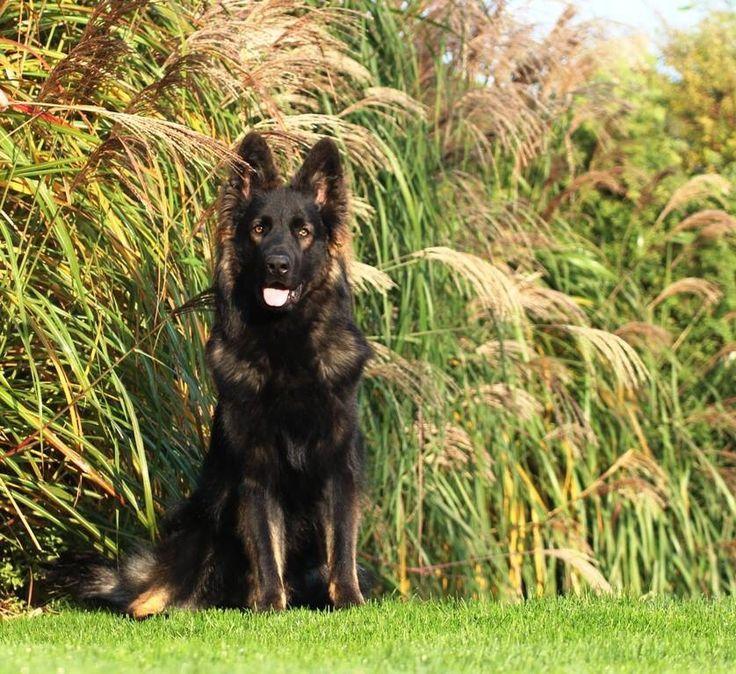 Black sable Long coat GSD