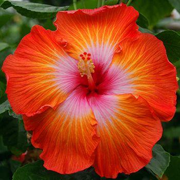 """Mandarin Sunset"" Hibiscus rosa Sinensis / Hybridizer: C. Black"