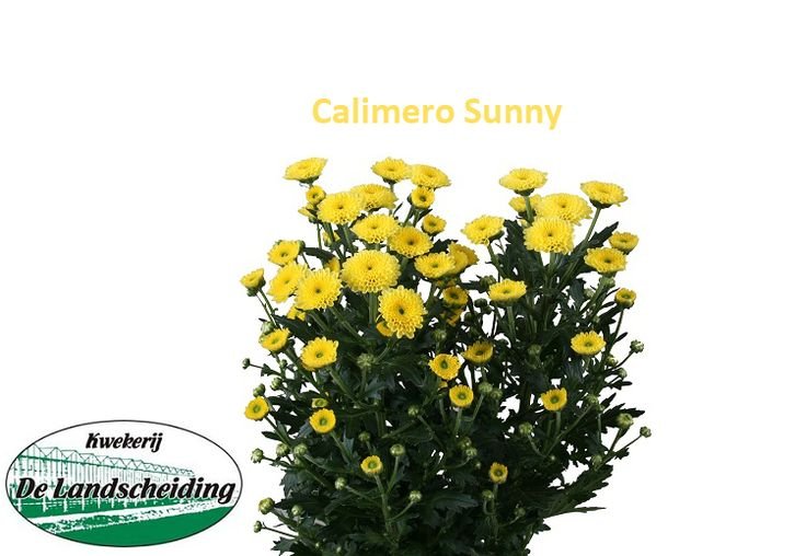 Calimero sunny