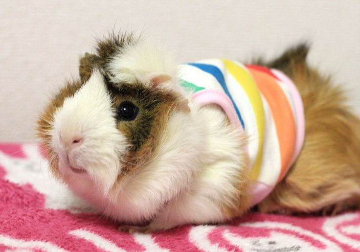 A guinea pig dressed in a tank top. The guinea pig clothes range from £5 to £12 in price excluding shipping costs. After working as a web-designer for several years Maki launched the Japanese website last year for domestic shipping and more recently an English site for international shipping. Picture: Maki Yamada/Rex Features