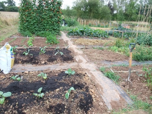 In these beds I have planted out Savoy Cabbage and Spring Cabbage.