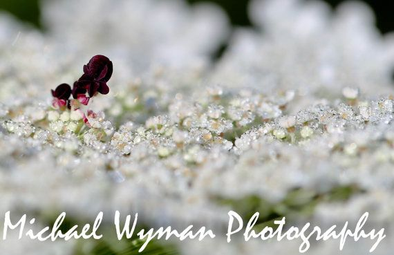 """Flower Photography - """"Old Lace"""" White Flower Picture White Flower Photo Nature Photography Queen Ann's Lace Photo on Etsy, $45.00"""