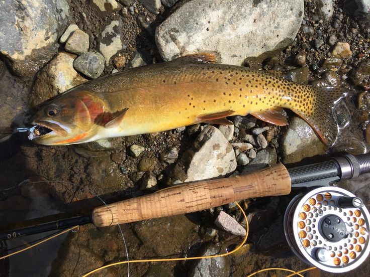 Fly Fishing in Yellowstone National Park - Cut Throat Trout - Pictures by Chris J. Hamilton