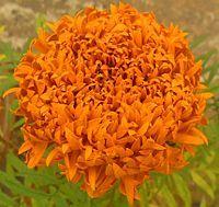 Tagetes erecta - Wikipedia, the free encyclopedia