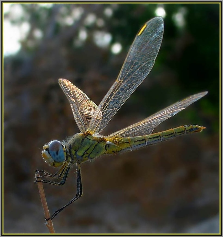 About dragonflies on pinterest aliens racing stripes and wings