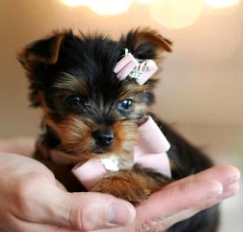 Georgina the Yorkie Teacup Puppy For Sale >website seems sketchy, but the puppies are soooo cute :)