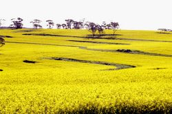 Stock photography Perth WA. Canola paddock. Picture: Rob Duncan. TWA-0049771 © WestPix