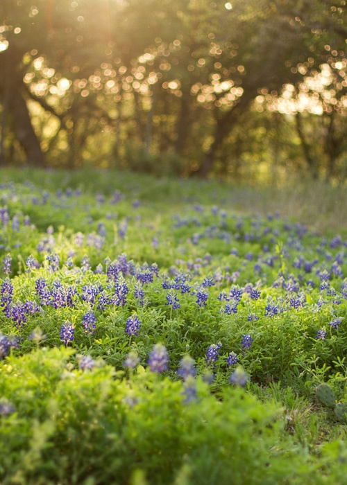 248 best images about texas bluebonnets on pinterest for Tattoo shops in new braunfels