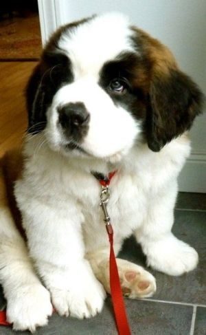 Adorable cute Saint Bernard Puppy <3