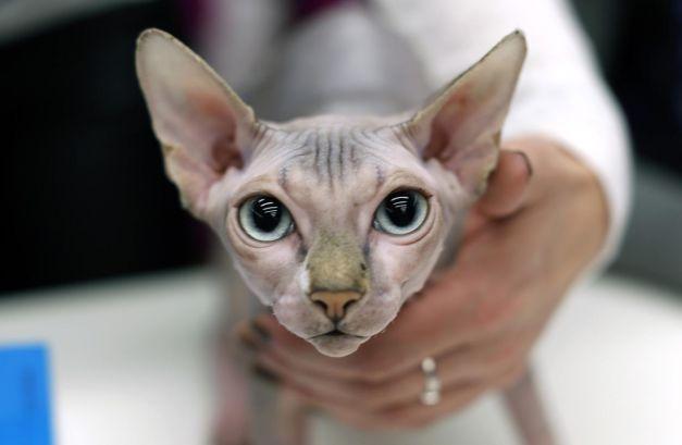Pisici care nu lasă păr: de la British Shorthair la Sfinx