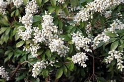 Pieris japonica 'White Pearl'
