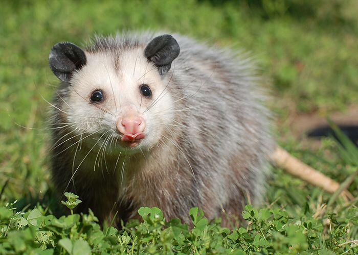 Opossum Native To 9 best Chicago ...