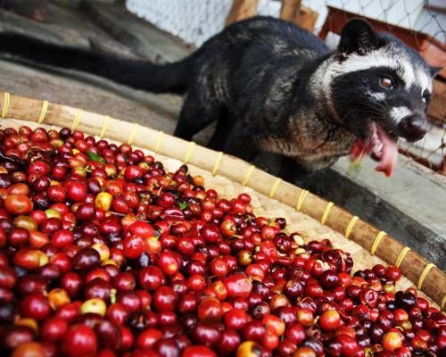 Kopi Luwak, or civet coffee, may be the best (and most expensive) cup of coffee you will ever drink. But there's a catch.