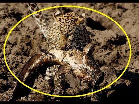 Leopard catching catfish - Funny animal
