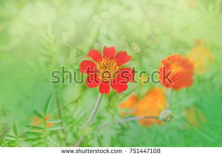 Tagetes erecta blooming flower background. Marigold flowers in a park. Mexican marigold close up