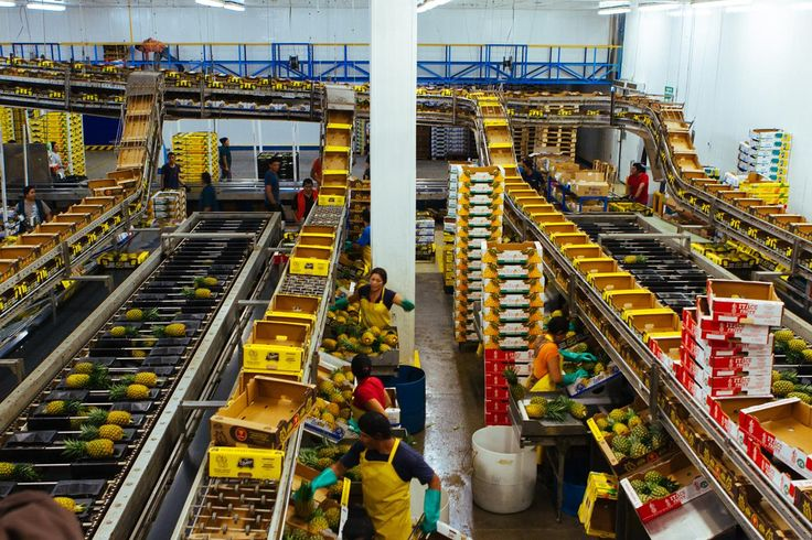 Pinapple packing factory