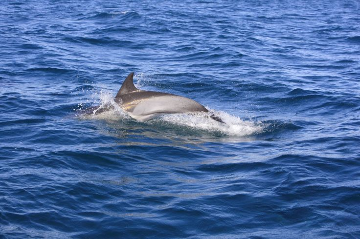 """""""There are only nine cases known until now"""" of conjoined twins among cetaceans, said Kompanje, who has studied dolphins, whales and porpoises for 20 years.  In 2001, a bottlenose dolphin calf with two beaks was caught in the Mediterranean sea, but it was partially decomposed.  [...] whatever happened in their short life, they had by pure luck found their way into a fishing net before nature destroyed their body's value to science.  For a researcher hungry for any morsel of information about…"""