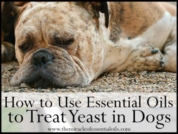 Using essential oils to cure  yeast overgrowth in dogs