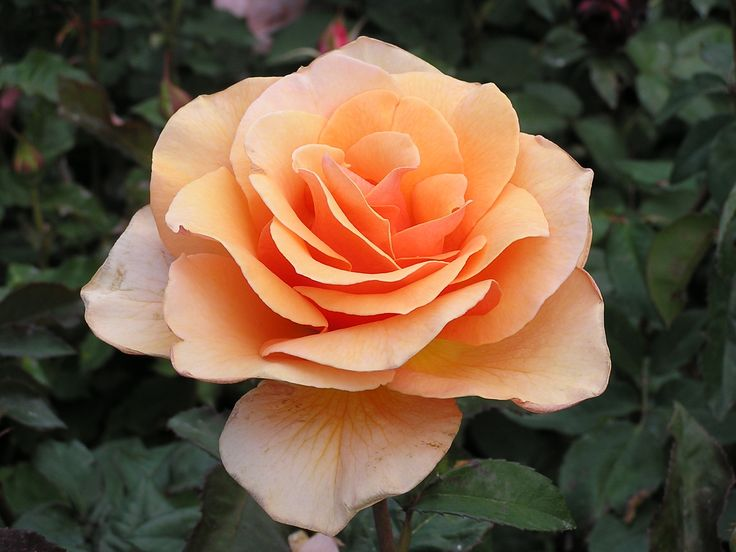 249 Best Images About Rosas On Pinterest Hybrid Tea