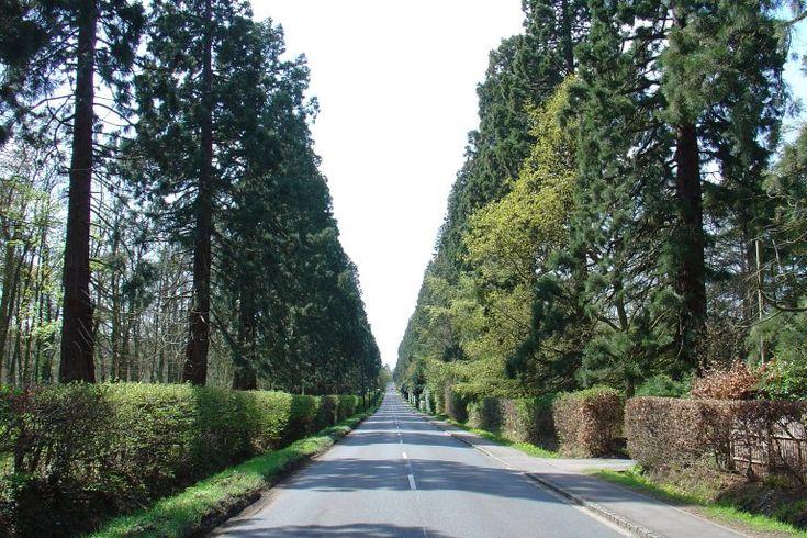 Finchampstead - Wellingtonia Avenue (Berkshire) giant redwoods