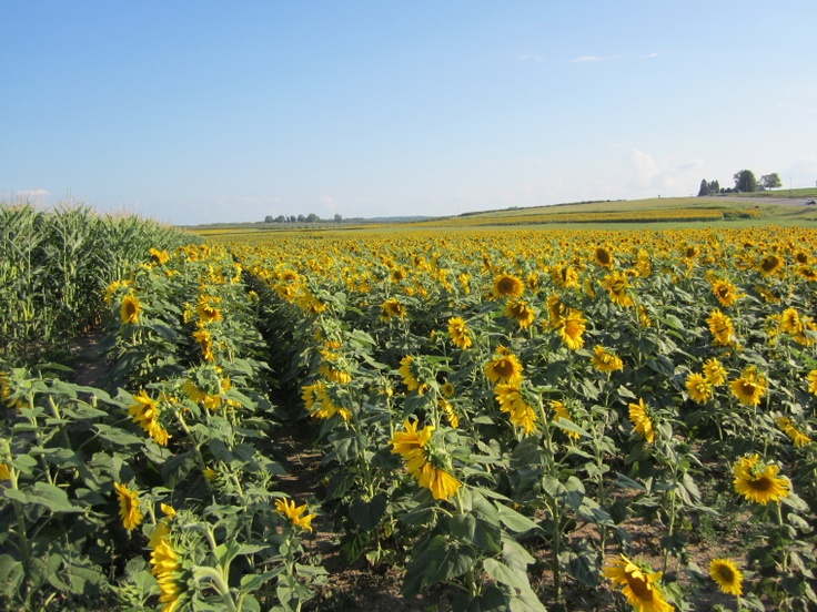 LOTS of sunflowers...