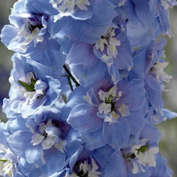 Delphinium Seeds for sale | 17 Delphiniums | Perennial Flower Seeds