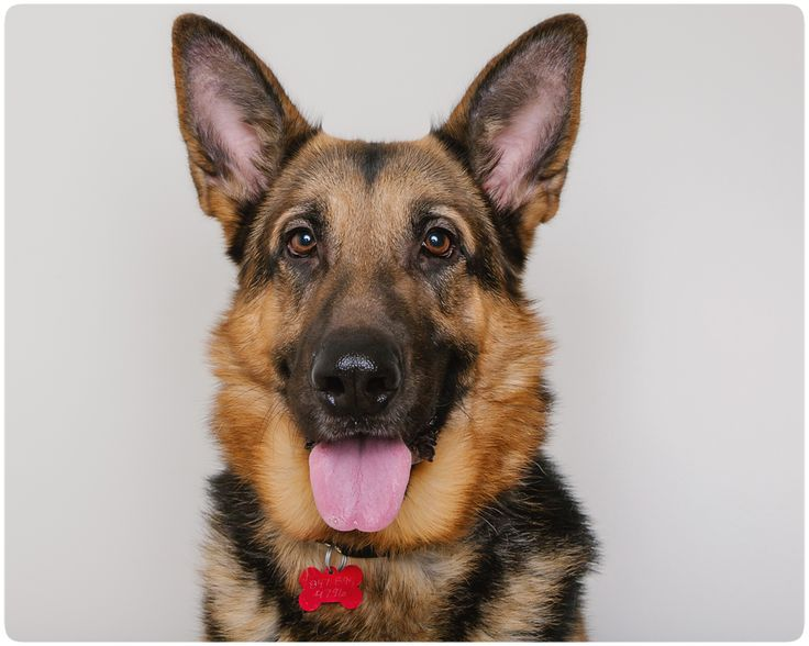 German Shepherd Dog dog for Adoption in Eden Prairie, MN. ADN-490158 on PuppyFinder.com Gender: Male. Age: Adult