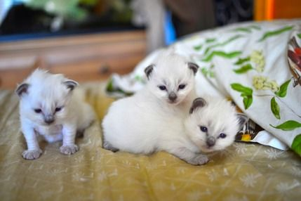 Birman kittens just as the color points are developing
