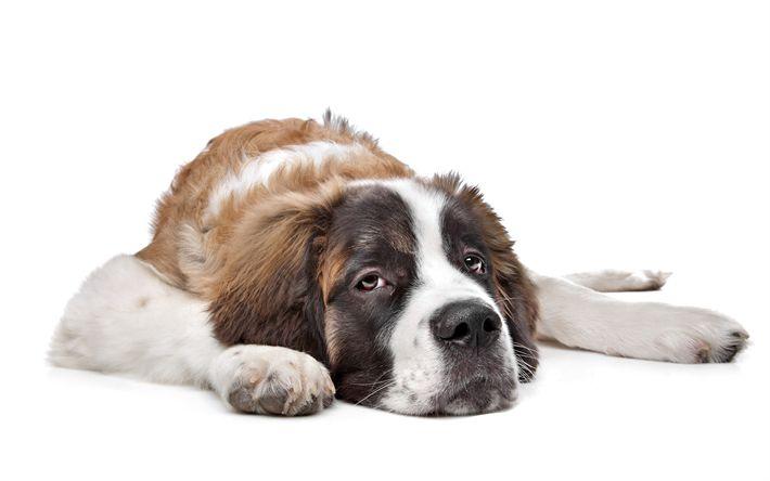 Download wallpapers St Bernard, pets, 4k, big dog, white dog, brown spots