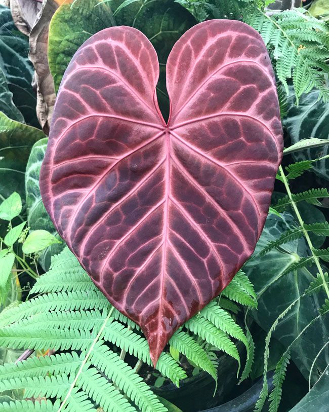 An Introduction To Anthuriums Our 5 Favorite Species And Anthurium Care Anthurium Plant Plants Anthurium Care