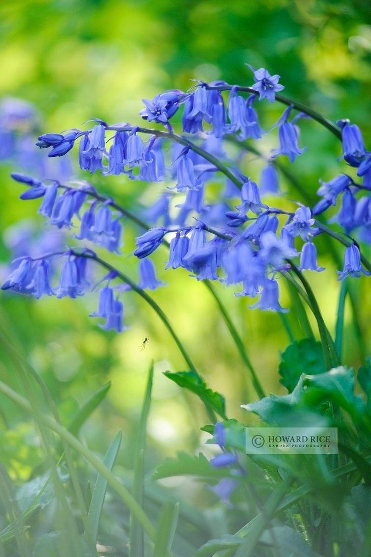 Howard Rice Garden Photography - Gallery: Plant Portraits.  Hyacinthoides non-scripta