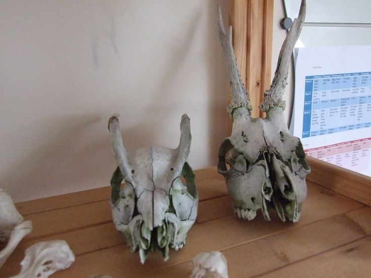 skulls! roe deer and muntjack