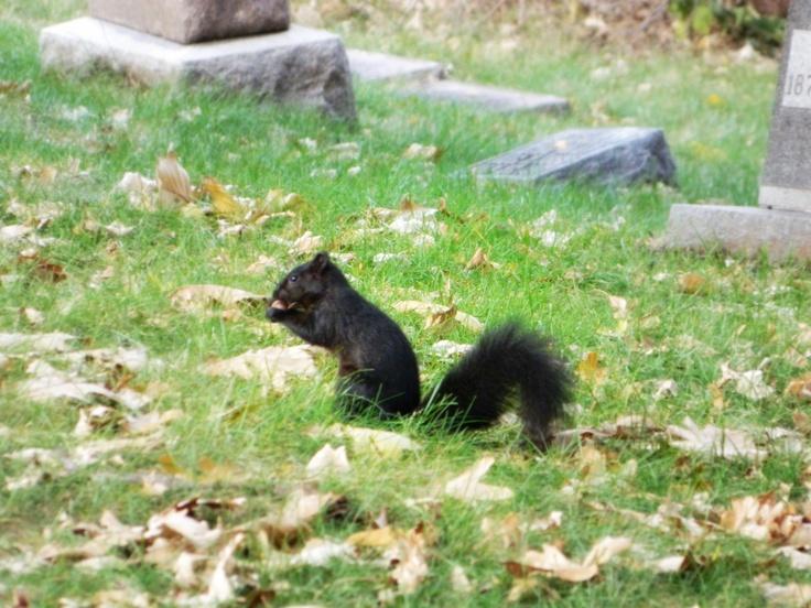 Black Squirrel, C.B. Iowa