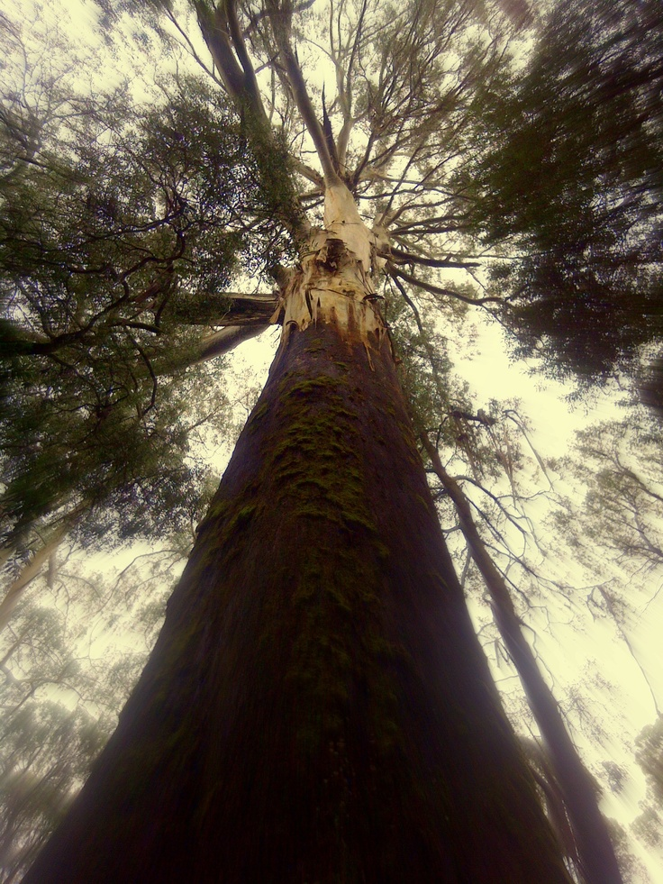 The top of the oldest tree at Otway Fly - Tree Top Adventures in Victoria, Australia.