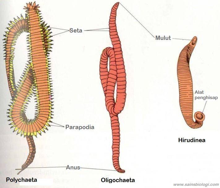 animalia annelida hirudinea