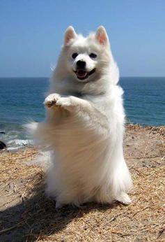 American Eskimo Dogs| American Eskimo Dog Breed Info & Pictures | petMD