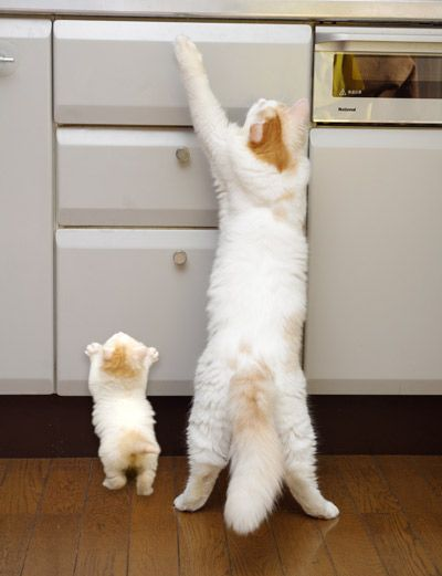 Kitten in training.................Treats, Copy Cat, Tops Drawers, Mothers, Baby Animal, Daughters, Kittens, Kitty, Baby Cat