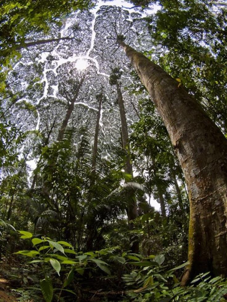 """Διεθνή Βραβεία Φωτογραφίας 2012: """"Crown of Shyness"""" , 2ο βραβείο στην κατηγορία Φύση-δέντρα, από τον Sanjitpaal Singh"""