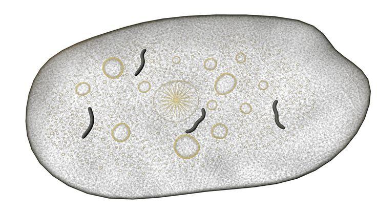 Entamoeba Histolytica Obj - 3D Model
