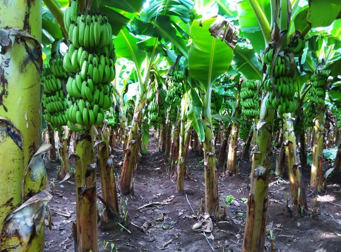 Grow Banana Plants | Pictures, Plants and Banana plants