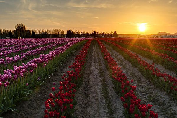 Skagit Valley Tulip Festival sunset Photography by Mike Reid