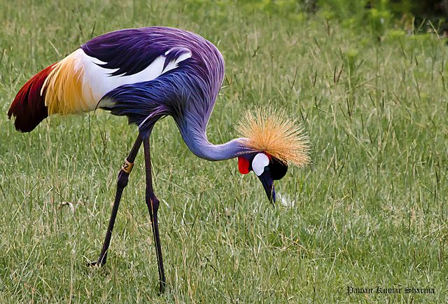 East African Grey-Crowned Crane by Leo Lucky, via Flickr