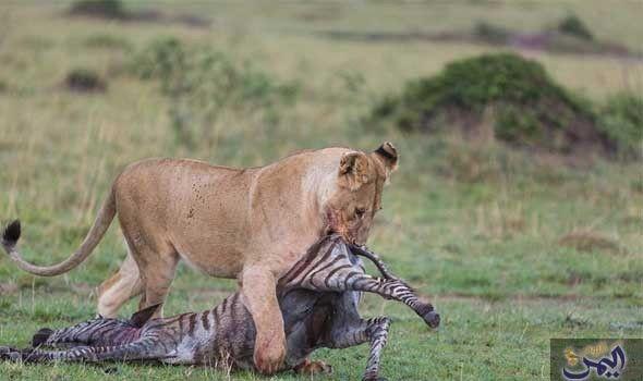 مصورة بلجيكية تقوم بتصوير لبوة تفترس حمار ا وحشي ا Animals Lioness Zebra