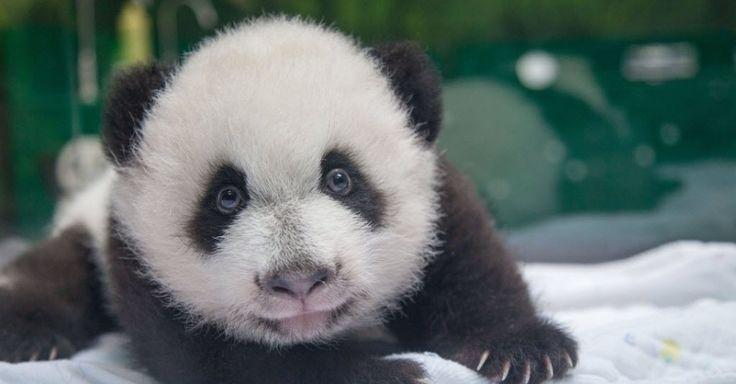 Filhotes trigêmeos de pandas gigantes completam 1 ano na China - Notícias - Meio Ambiente