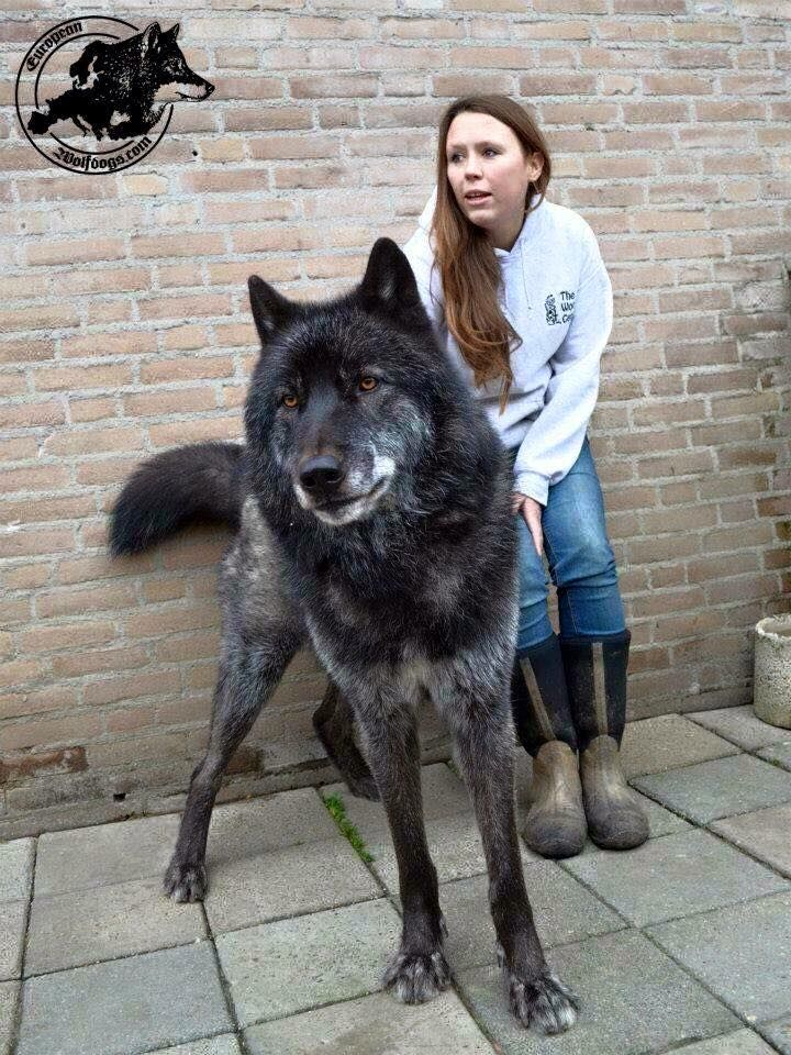 What Breed Of Dogs Can Take On A Wolves
