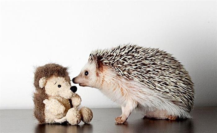 Quem disse que os ouriços não podem ser fofos?