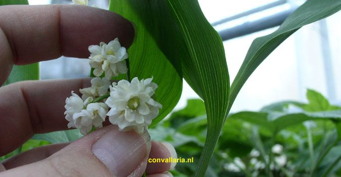 Convallaria majalis 'Prolificans,' lily of the valley - cultivars / varieties