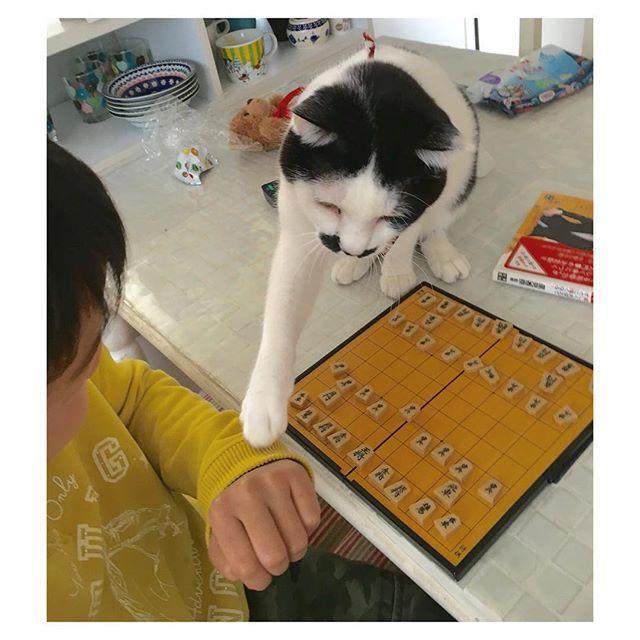 05.03.2016  チョット待ってでしゅよ  waite!  #ねこ #猫 #cat #将棋 #待った #髭猫 #ひげ猫 #mustachecat  #おかっぱ #ヅラ猫部 #次男対猫achacoko2016/03/05 11:31:03