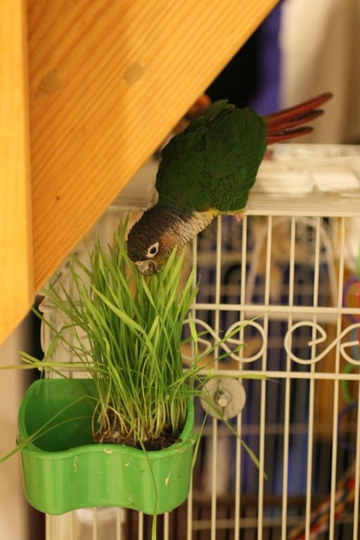 Fun with wheatgrass : parrots